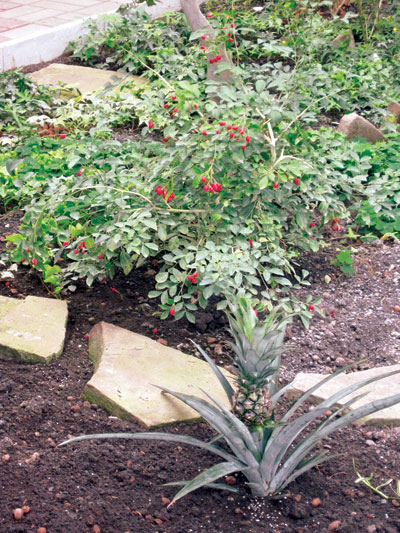 Муррайя и ананас