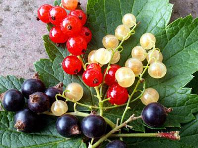 Выращивание ягод на заднем дворе