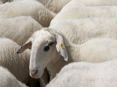 На австралийских водителей обрушились 400 овец (ВИДЕО)