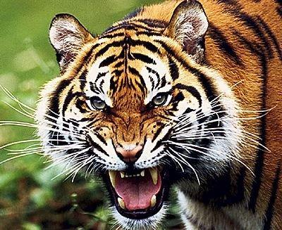 В китайском зоопарке тигр съел туриста, залезшего к нему в вольер (видео)