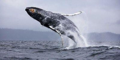 Ученые сделали удивительное открытие о китах