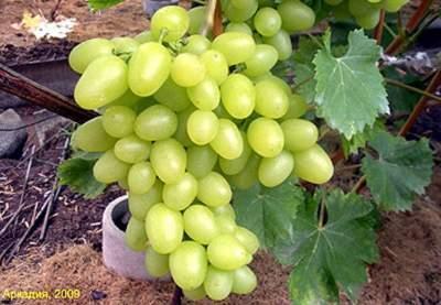 Полезные и вредные свойства винограда, о которых стоит знать