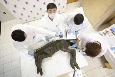 Ученые намерены клонировать жеребенка древней лошади