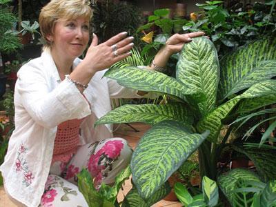 Флорист салона «Цветы для вас» Елена Белоус считает, что диффенбахия - прекрасное растение, способное оживить любое помещение. «В него надо влюбляться, а не бояться!» - отмечает она.